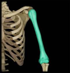 Какие суставы фиксируются при переломе плеча? 80